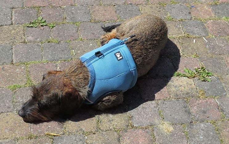Koeltip: hond draagt een Hurtta Koelvest