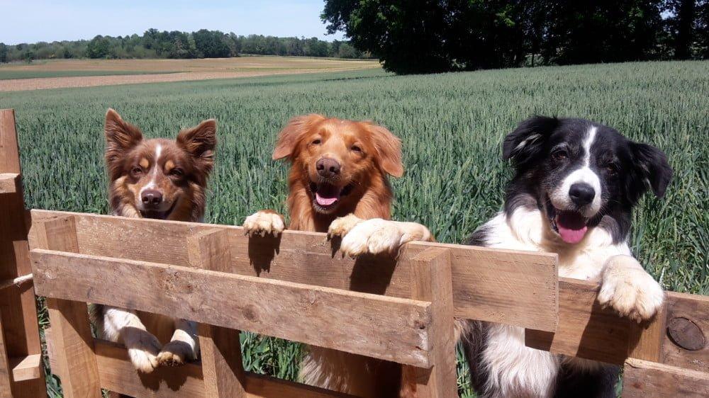 De drie honden van les Chiens Sportives