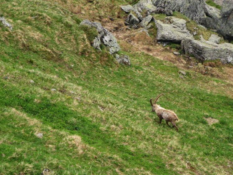 Steenbok in Oostenrijk