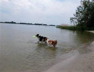 Honden spelen in het water