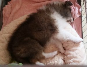 Sheltiepup slaapt