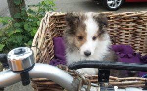 Een van mijn twee honden in de fietsmand