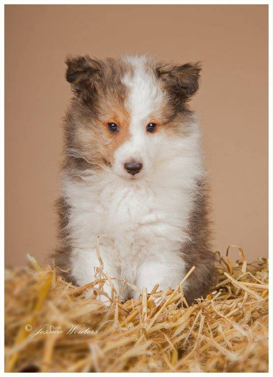Sheltiepup pup-log