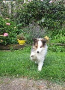 Sheltiepup ontdekt de tuin
