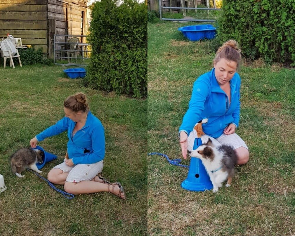 Sheltie op puppyles