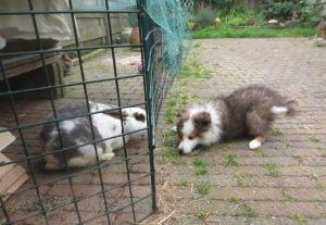 Sheltiepup maakt kennis met konijn om te socialiseren