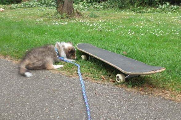 Sheltiepup buiten socialiseren met skateboard