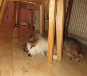 Sheltiepup slaapt onder de tafel