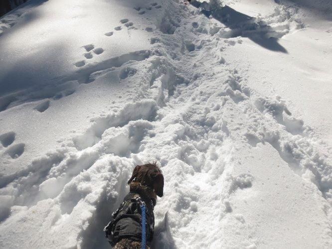 Teckel in de sneeuw