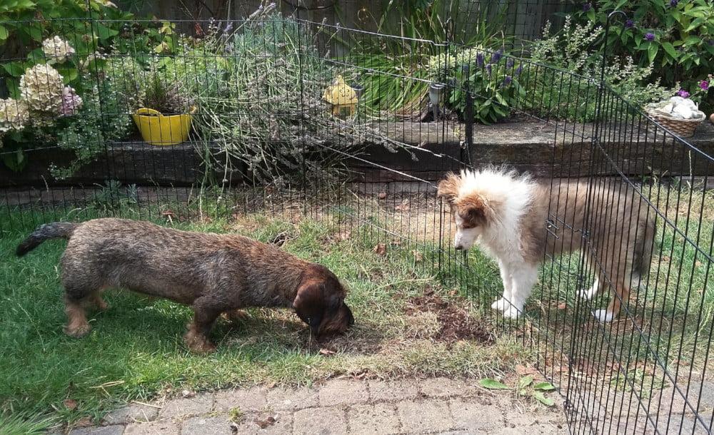 Puppy en teckel
