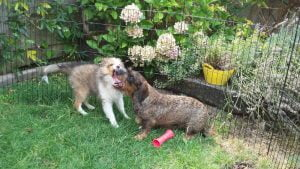 Sheltie puppy en teckel spelen samen