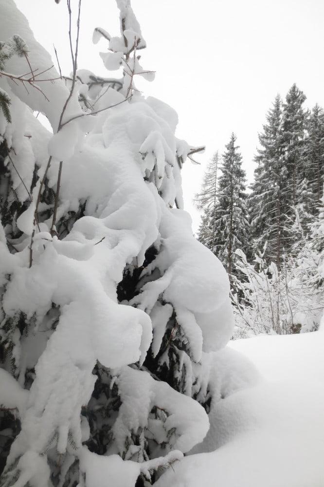 Dikke laag sneeuw op de dennenbomen