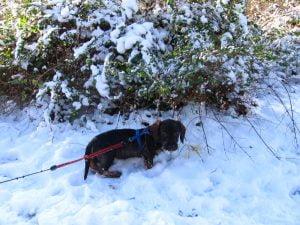 Teckelpuppy in de sneeuw