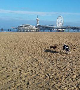 Honden rennen op het strand in Scheveningen