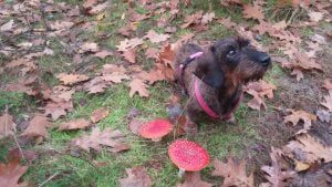Hond zit naast een paddenstoel in de herfst