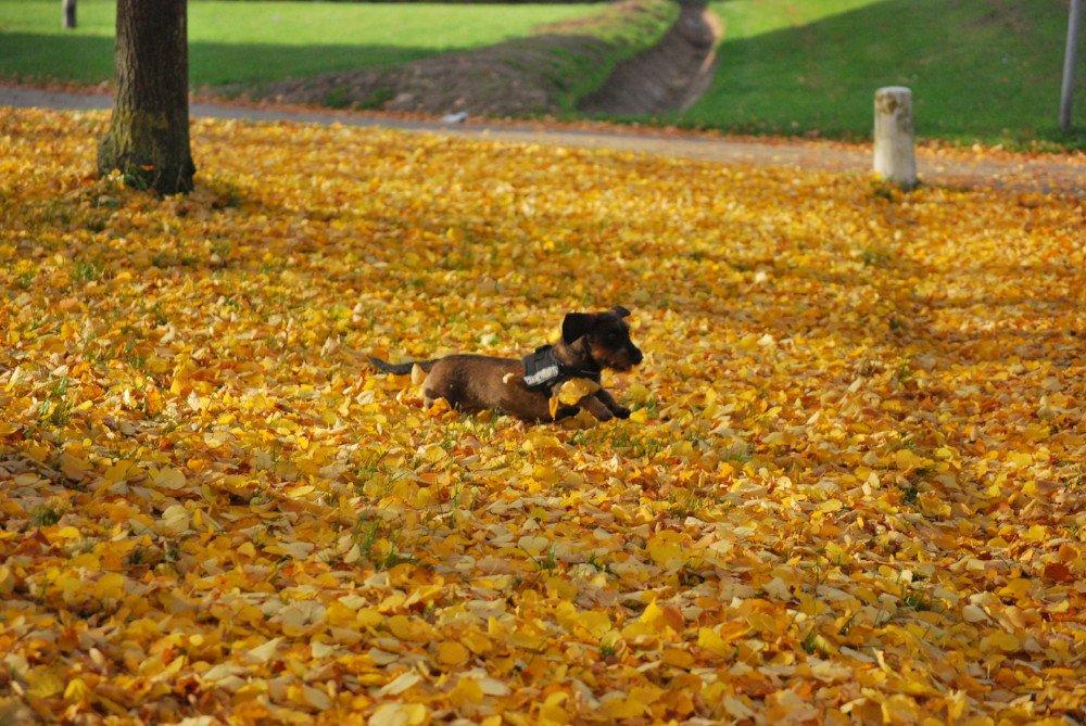 Hond rent door de blaadjes in de herfst
