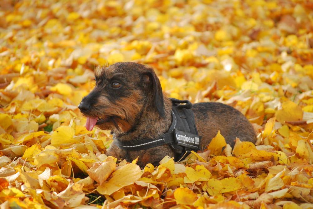 Hond ligt in de blaadjes in de herfst