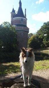 Sheltiepup Filou poseert tijdens het wandelen voor Kasteel Duurstede