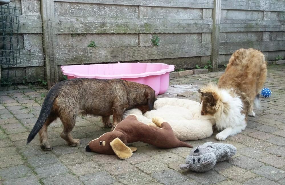 Teckel en Sheltiepup zijn samen aan het spelen