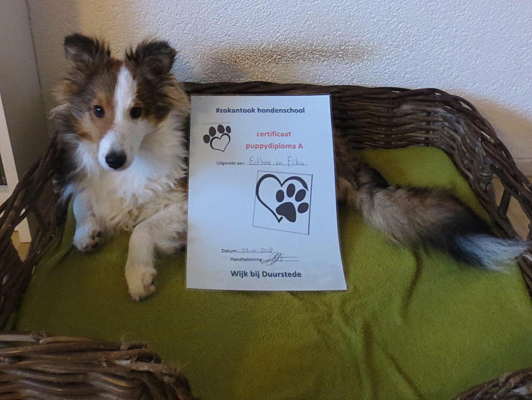 Sheltie met puppydiploma A