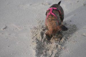 Teckel aan het graven tijdens het wandelen aan zee