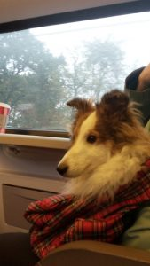 Sheltie in de trein