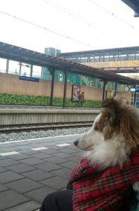 Sheltie wacht op de trein