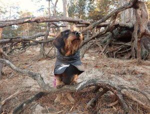 Teckel poseert op boomstam in het Panbos