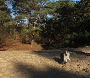 Sheltie aan het rennen in het Panbos