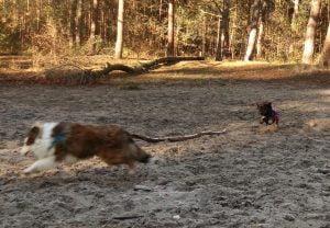 Honden rennen achter elkaar aan in het Panbos