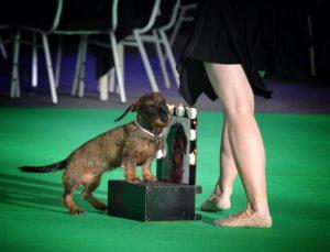 Teckel doet mee aan dogdancewedstrijd tijdens de Hond 2017