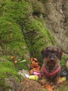 Teckel poseert in de Kaapse bossen