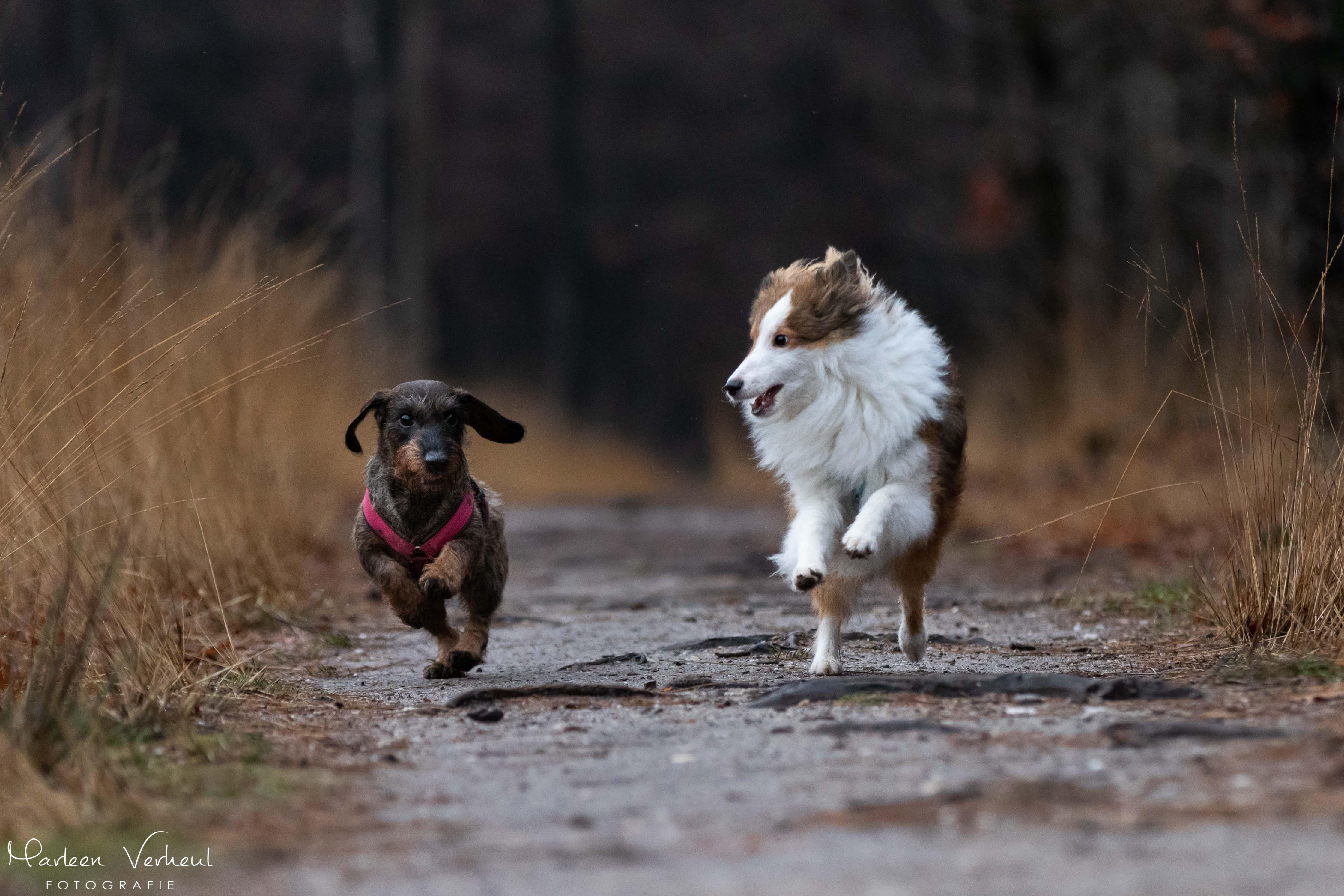 Teckel en Sheltie in het bos aan het rennen