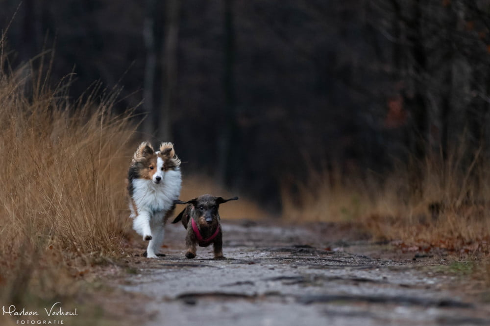 Sheltie en teckel rennen samen in het bos