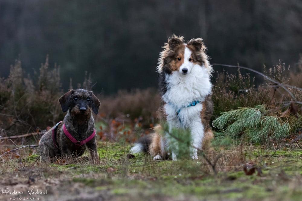 Sheltie en teckel poseren samen in het bos