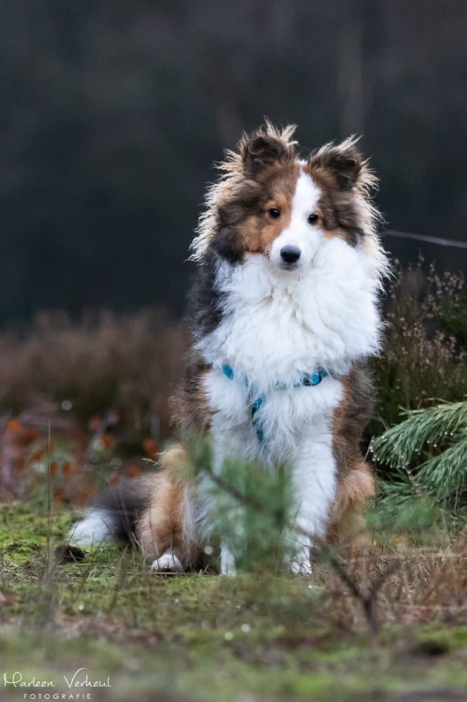Jonge Sheltie poseert in het bos