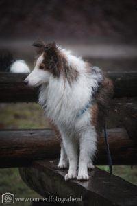 Jonge Sheltie in het bos