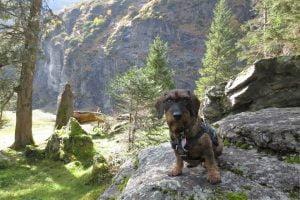 Teckel zit op een rotsblok in Oostenrijk