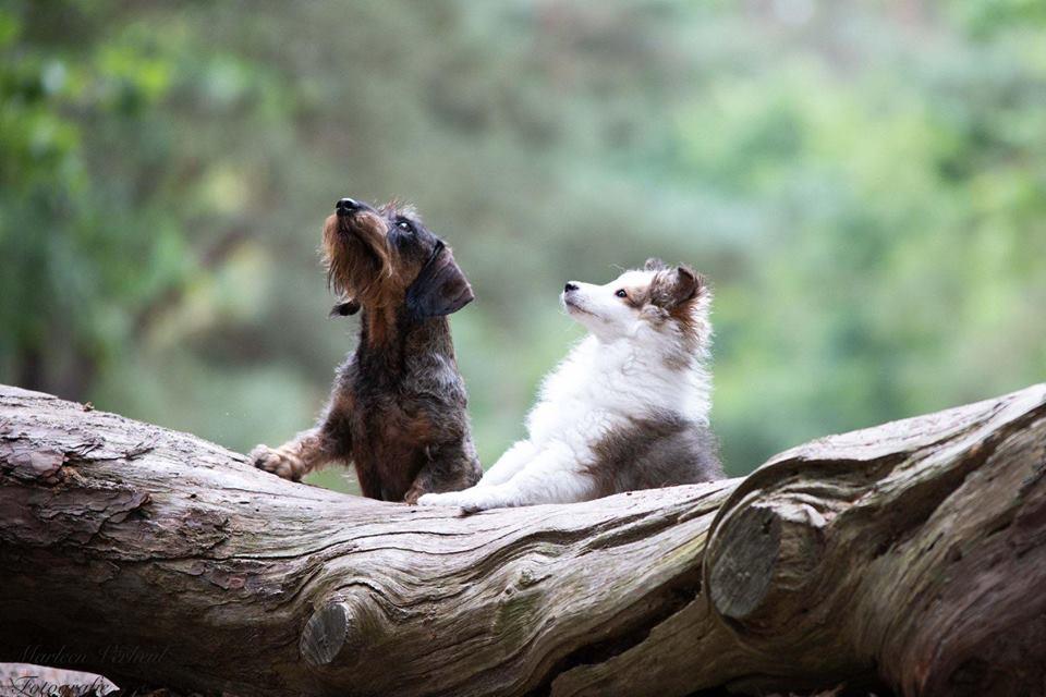 Teckel en Sheltie poseren op boomstam
