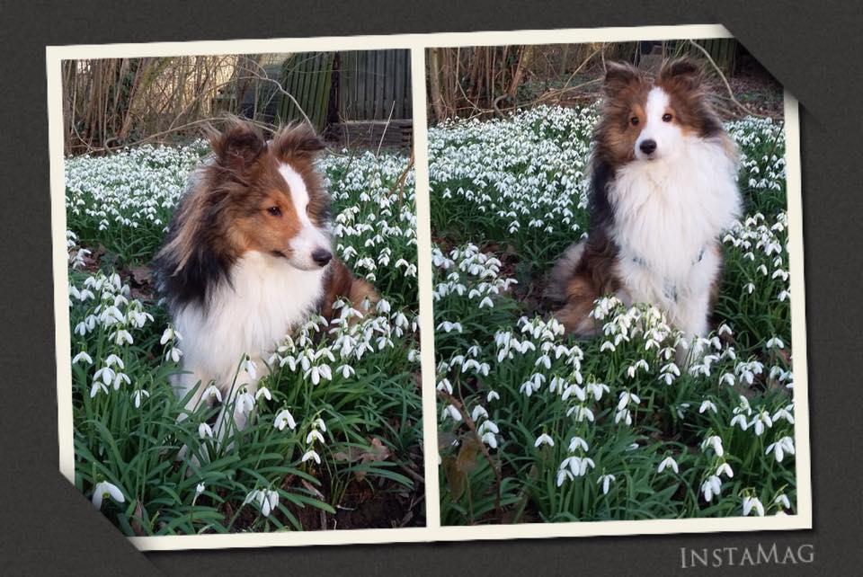 Collage van Sheltie tussen de sneeuwklokjes
