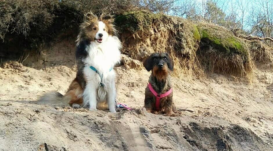 Teckel en Sheltie poseren tijdens een wandeling in Lage Vuursche