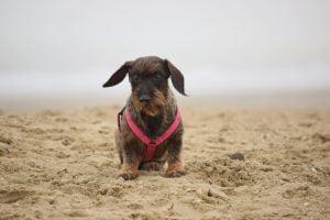 Teckel op het strand