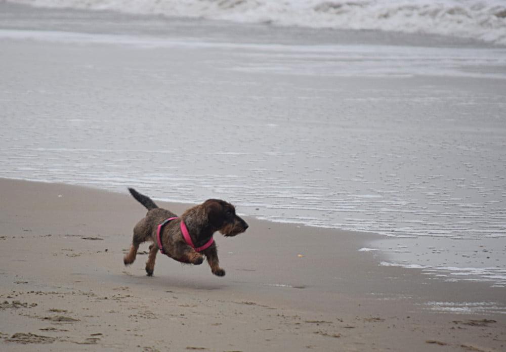 Teckel vliegt over het strand