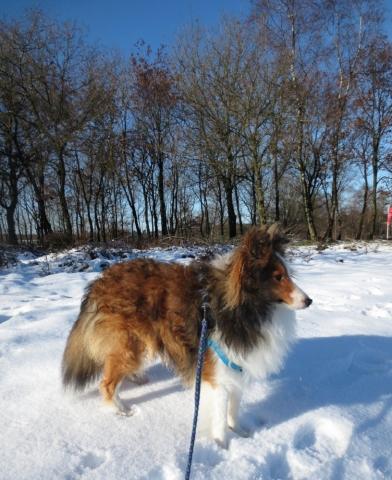 Sheltie in de sneeuw