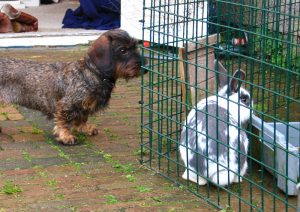 Teckel kijkt naar een konijn in de ren