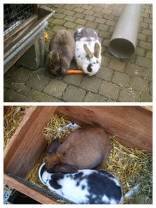 Collage van twee koppeltjes konijnen