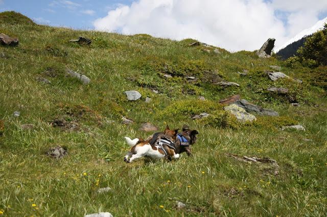 Honden rennen bij de Hintersee in Oostenrijk