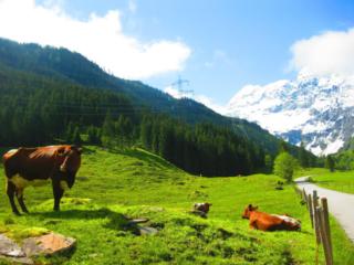 Oostenrijkse koeien