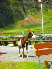 Geit op een terras bij de Hintersee