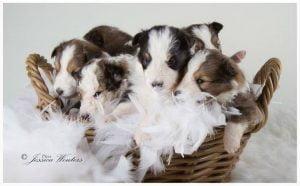 Sheltiepups pup-log